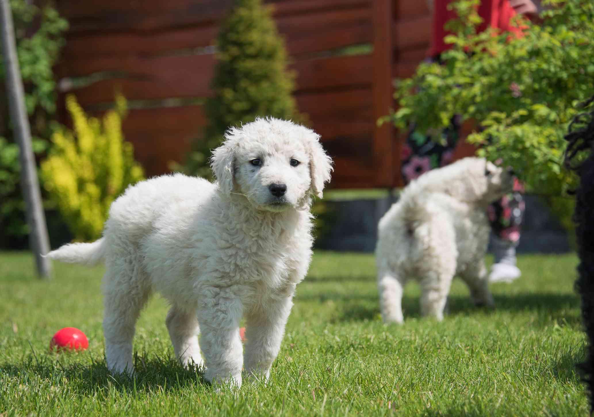 A Kuvasz Puppy