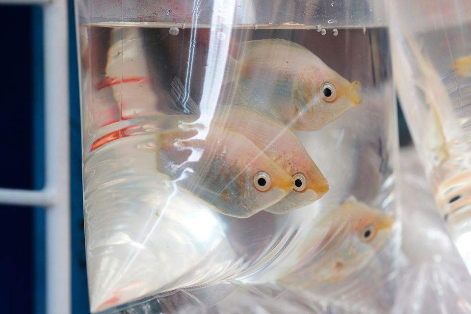 Fishes in plastic bag for sale