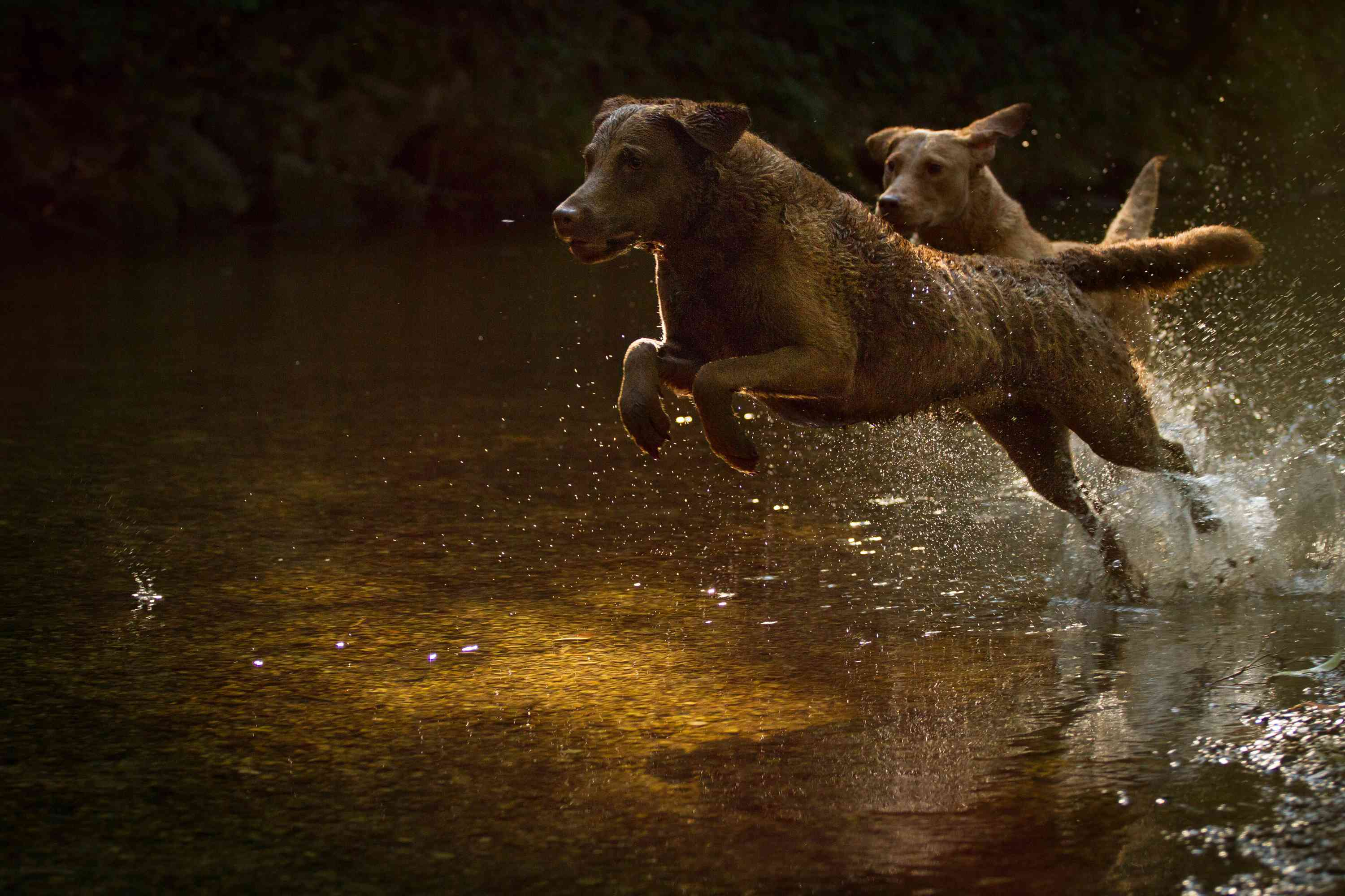 Two Chesapeake Bay Retrievers in the Water