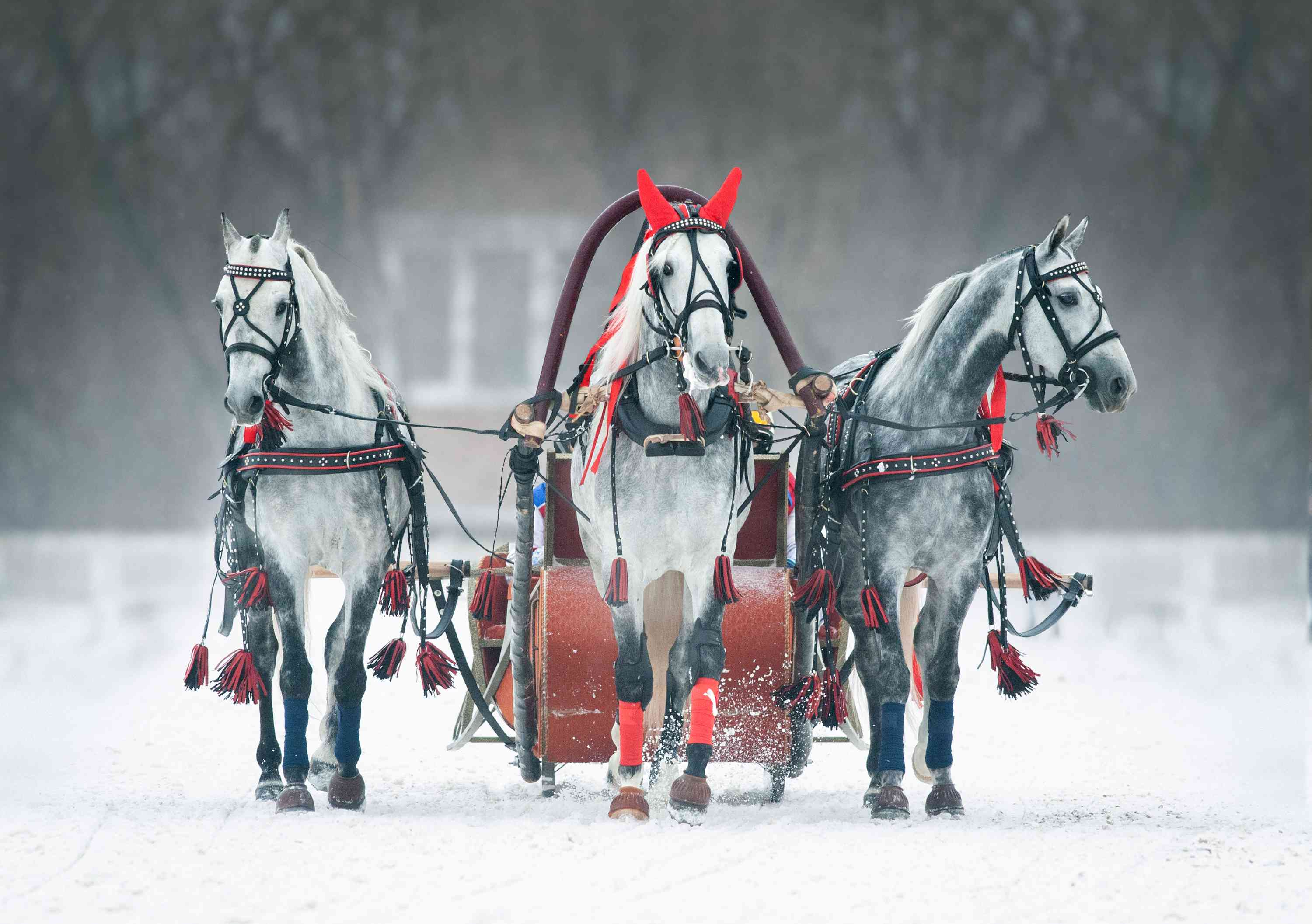 Orlov Trotters pulling a sleigh in Russia