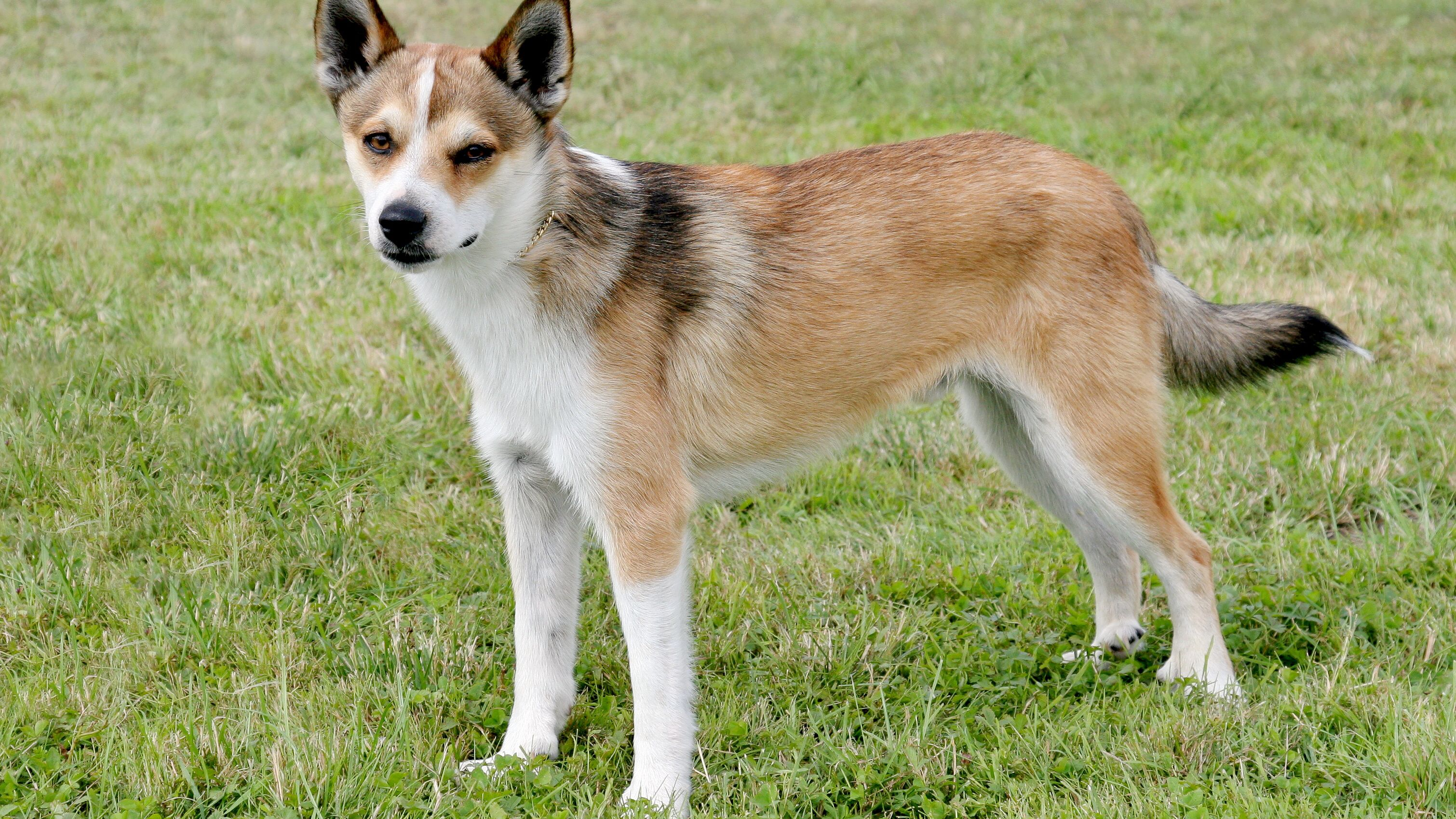 Norwegian Lundehund Full Profile History And Care