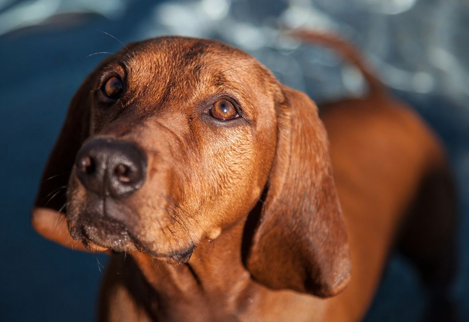 Coonhound Redbone