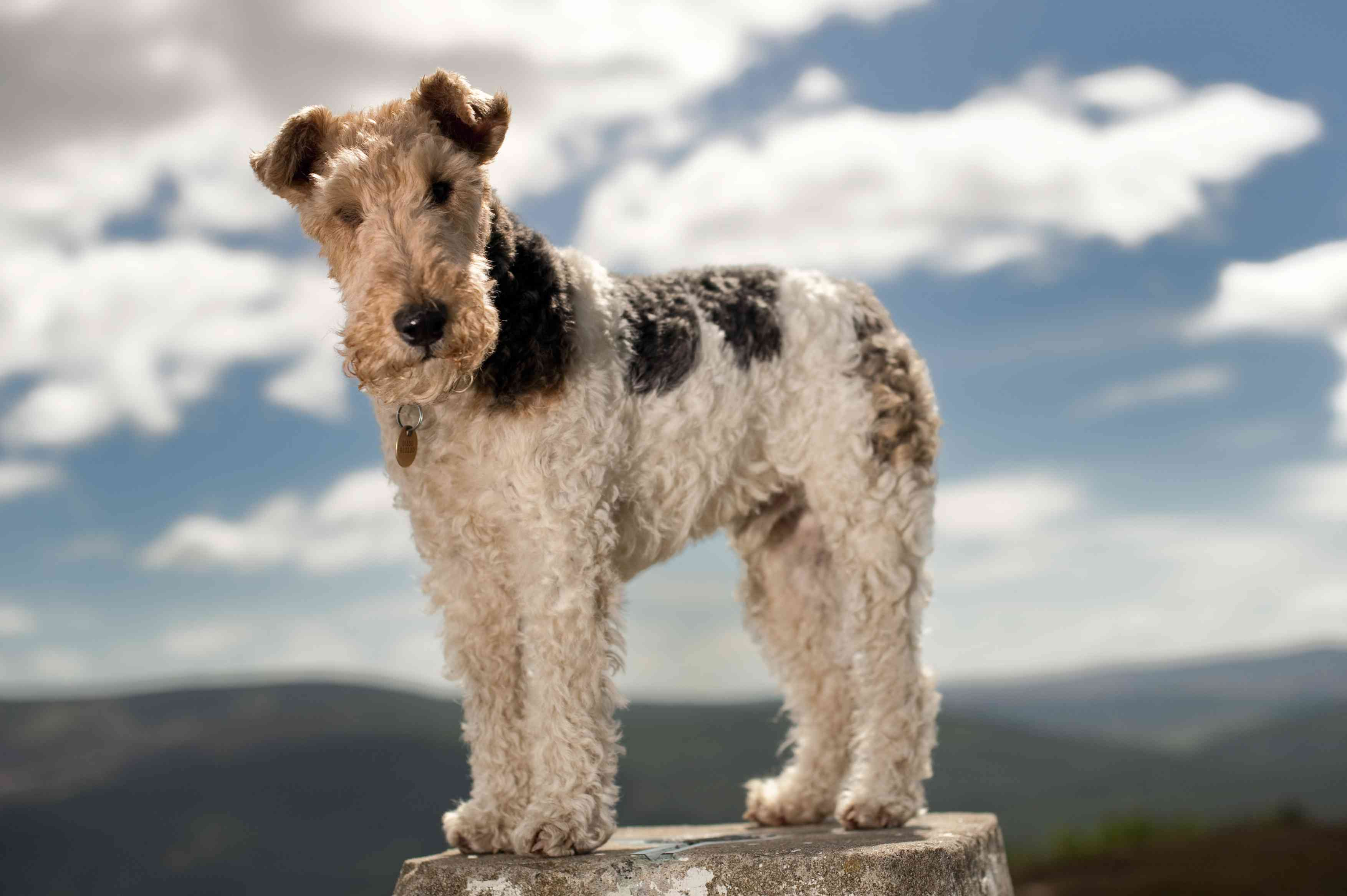 Wire Haired Fox Terrier standing on a rock in front of mountain landscape