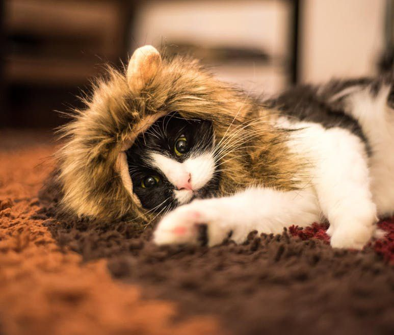 Tabitha Nikolaev / Amazon.com , feb21kate / Instagram , 2 gatos y 1 muñeca / Youtube , VogueSugar.com , CatCosplay / Imgur , kmcquaid / Instagram , Willowthesquishycat / Instagram , felinefever.tumblr. com