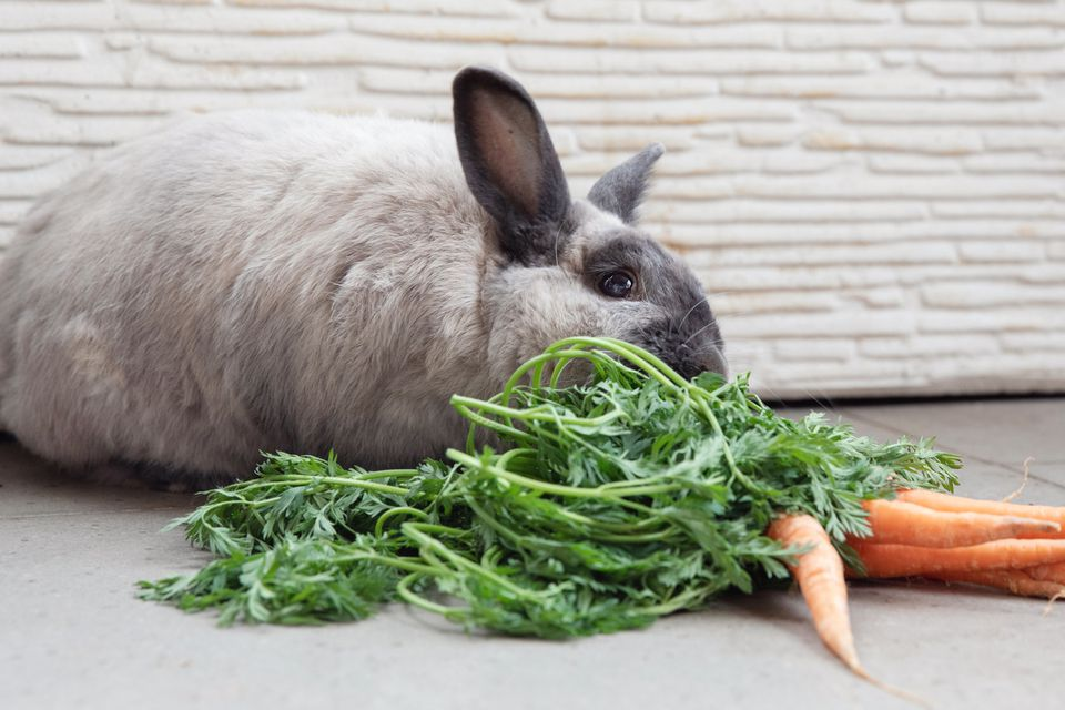 Gray rabbit eating carrots with green tops