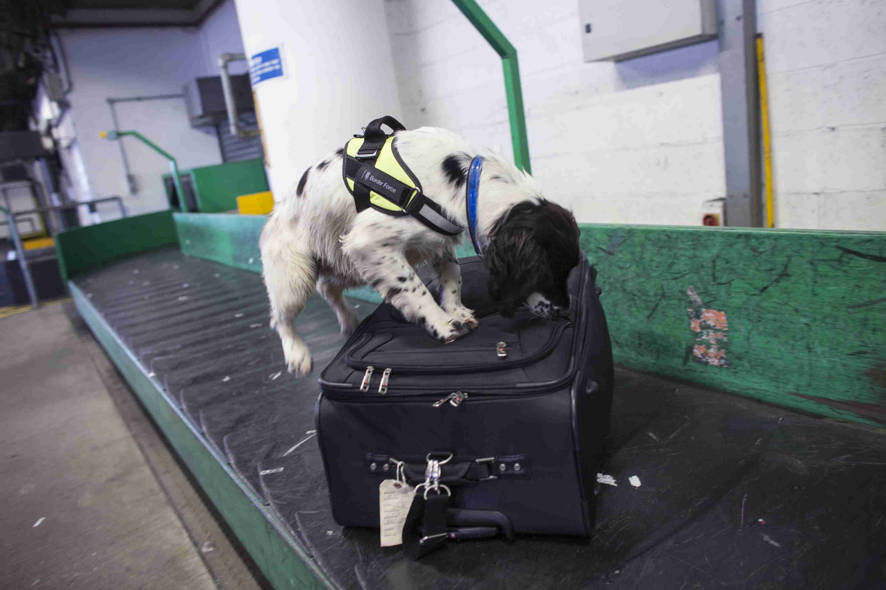 A detection dog sniffing a suitcase