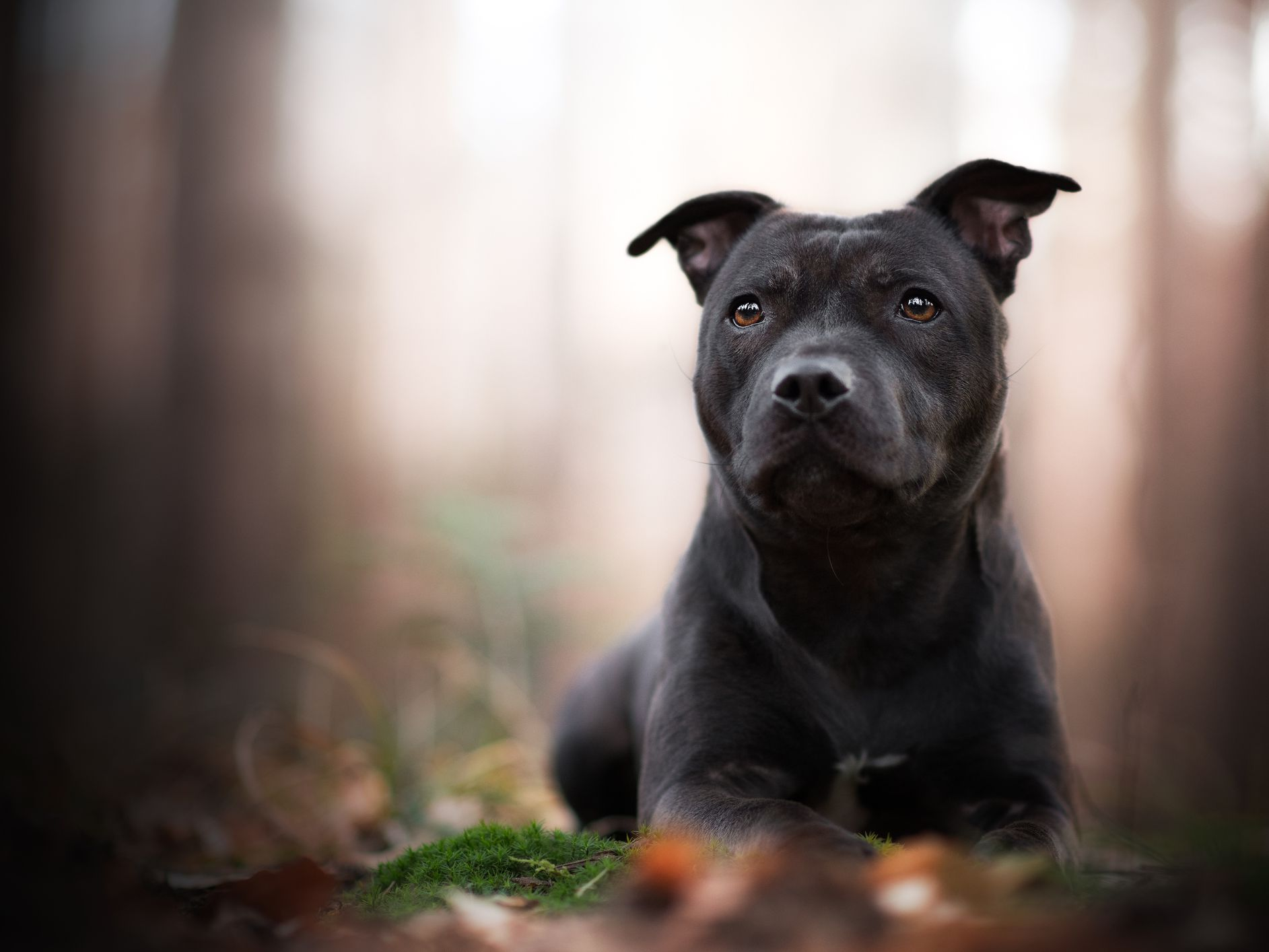 Staffordshire Bull Terrier Full Profile History And Care