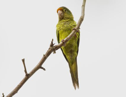Half Moon Conure perched on a branch.