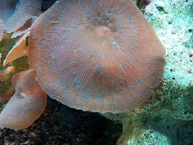 Speckled Mushroom (Actinodiscus sp.) Coral