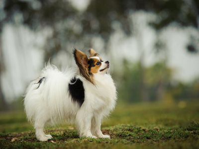 About Dog Shows and Conformation