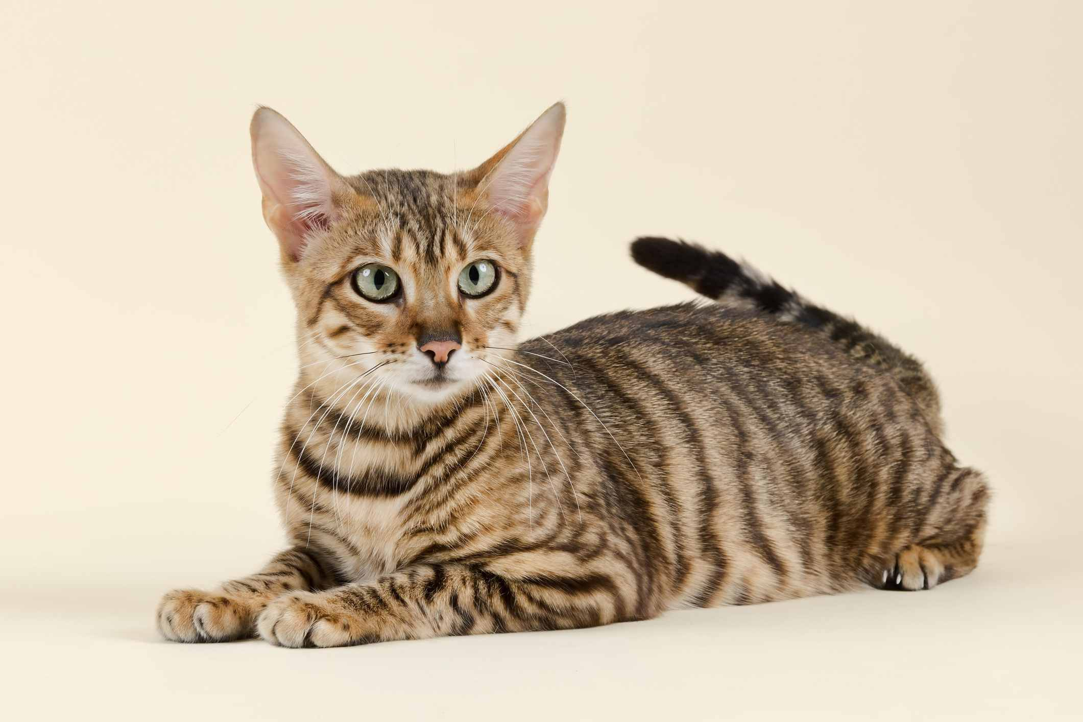 Toyger cat against a yellow background