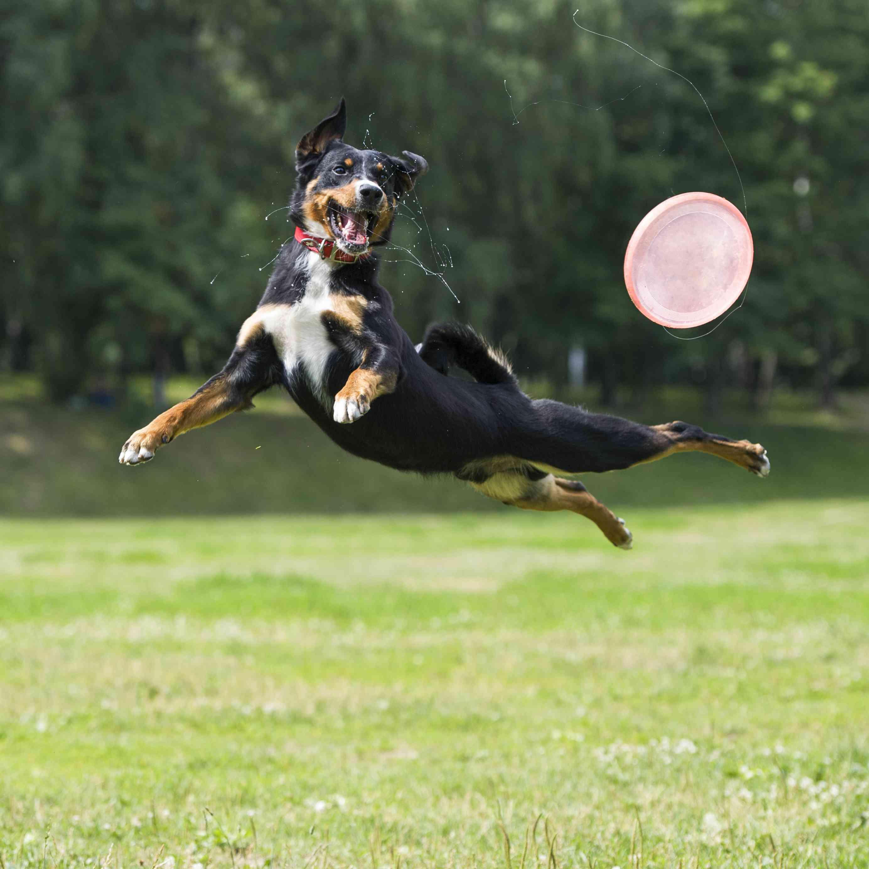 Appenzeller Sennenhund playing frisbee