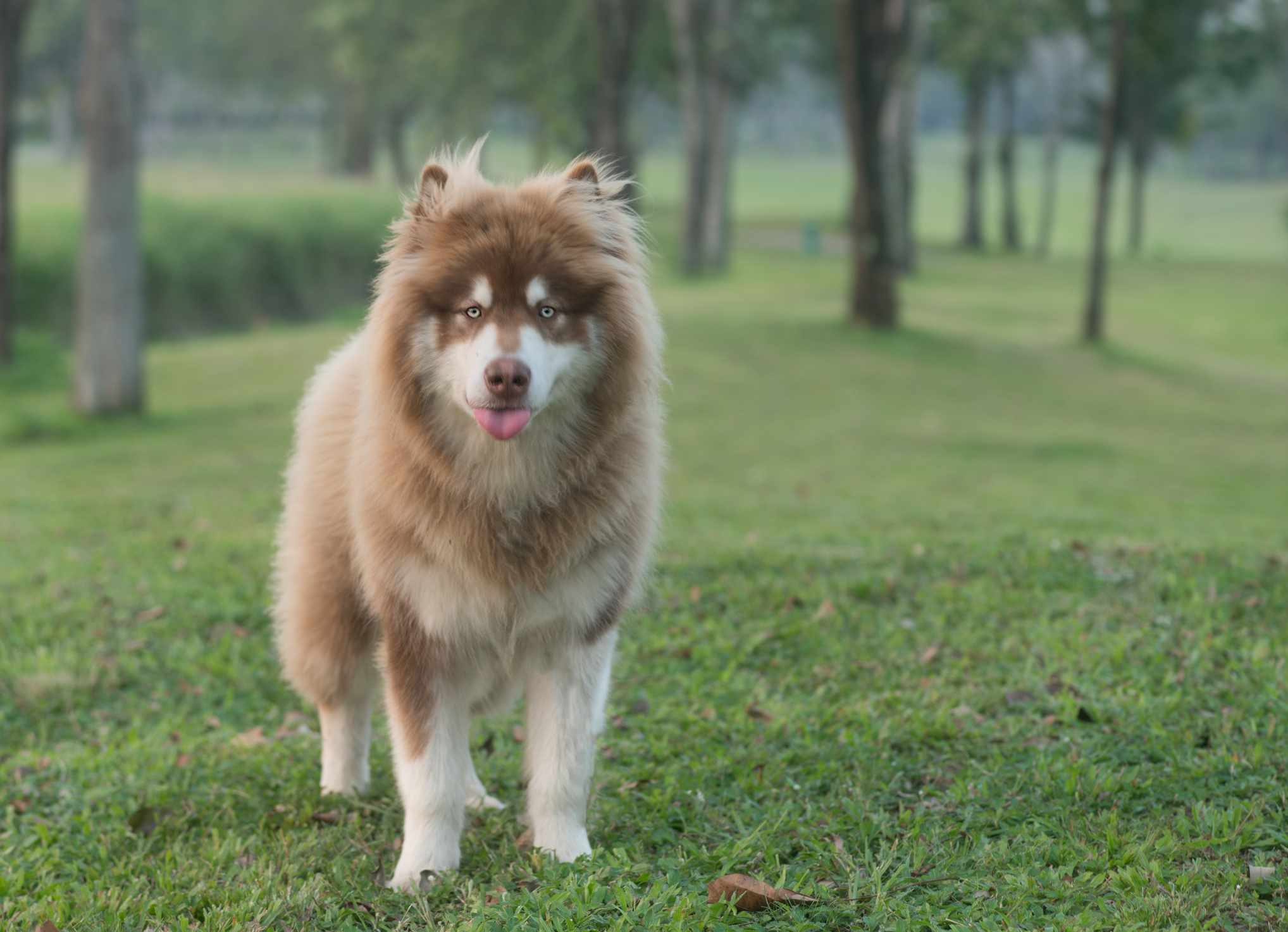 Brown Alaskan Malamute with tongue out standing in a grassy field.