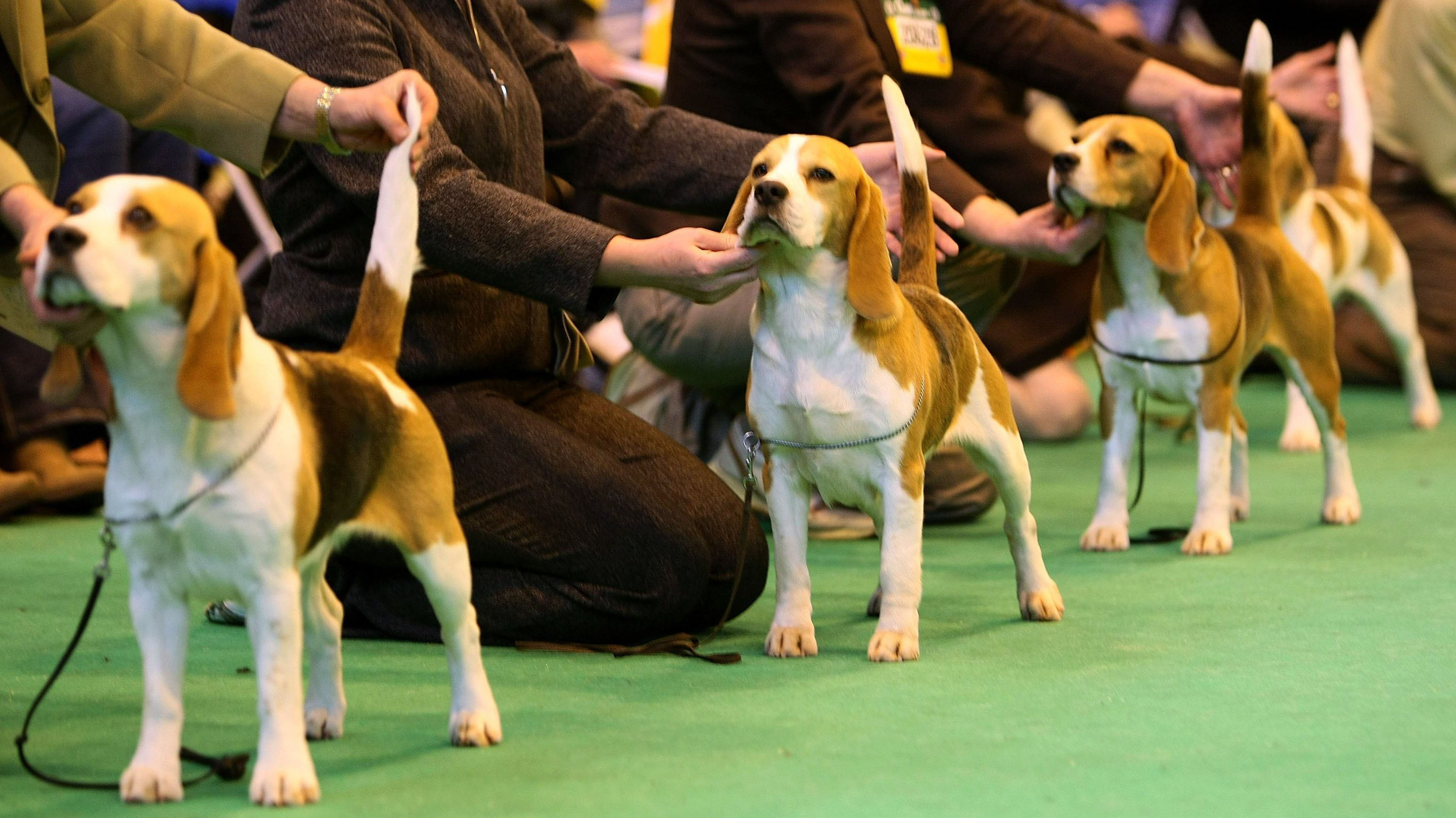 Becoming a Show Dog: Getting Started