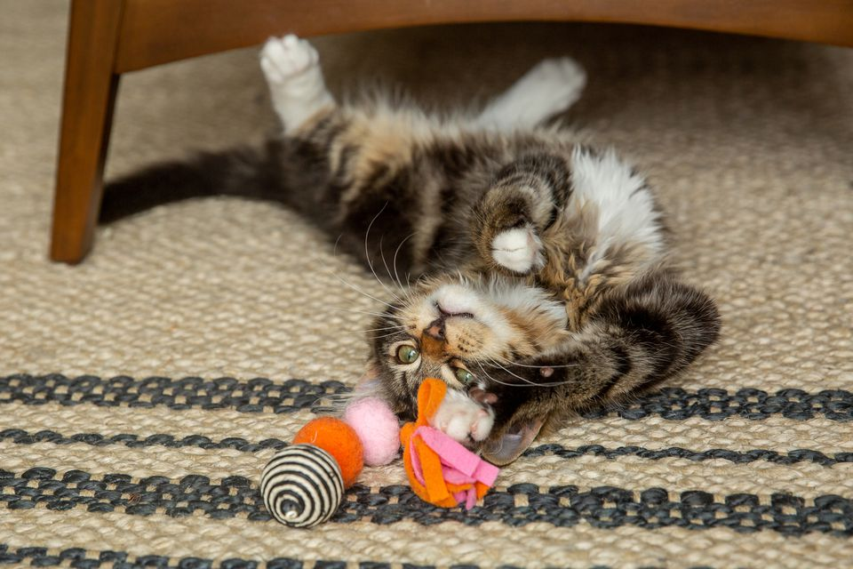Brown and white cat playing with toy on its back