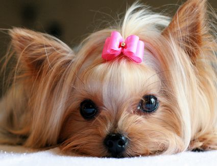 Yorkshire terrier with pink bow