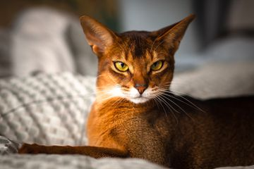 Abyssinian cat on a bed