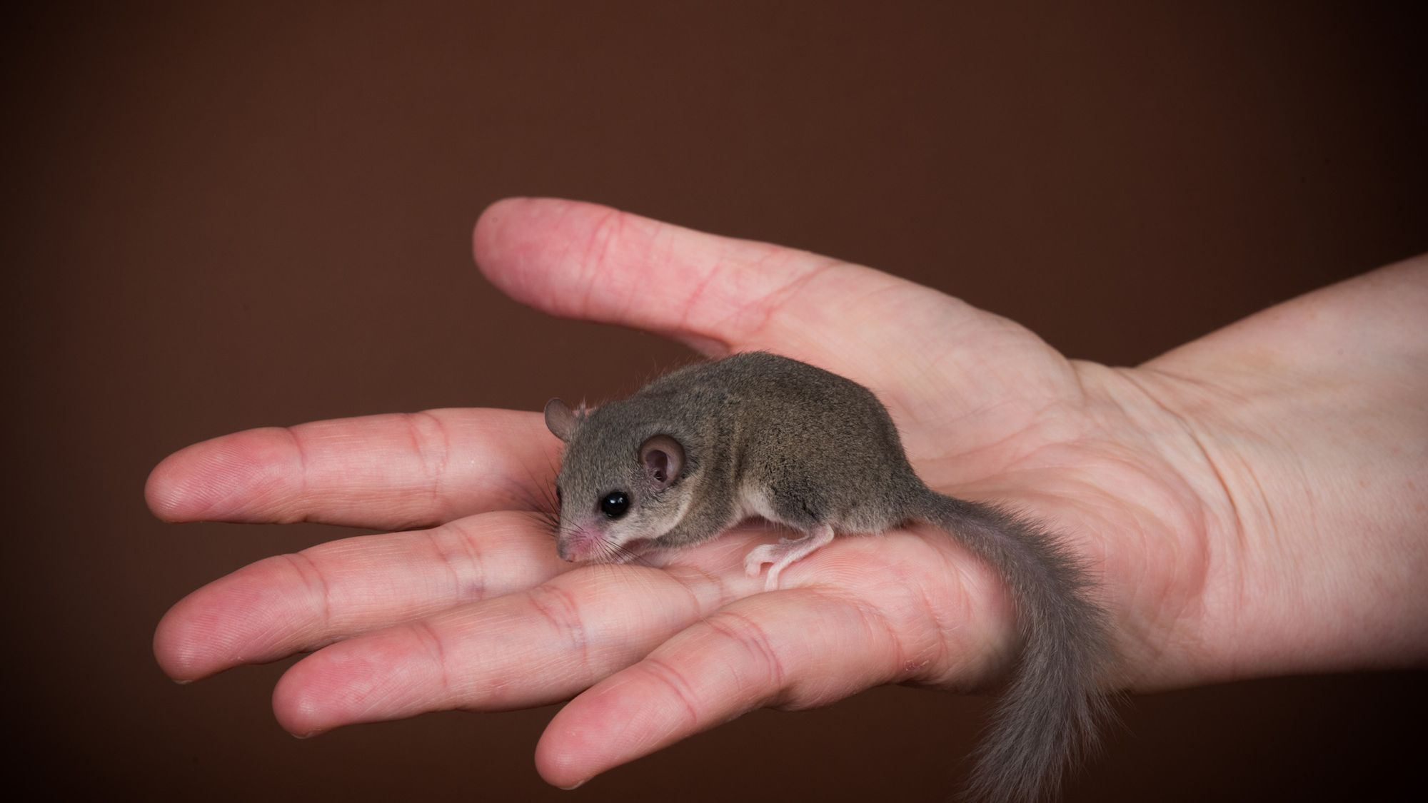 Keeping and Caring for African Dormice as Pets