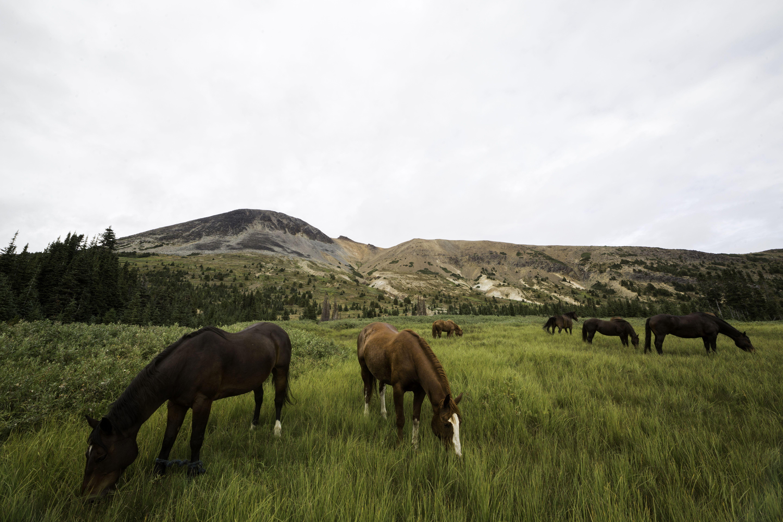 Horses grazing in Canada, British Columbia, Tweedsmuir Park, Chilcotin region, Chilcotin Ark, Rainbow Mountains