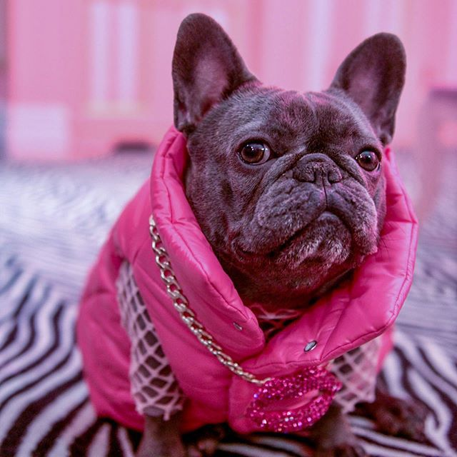 A grey Frenchie wearing a pink puffy vest and a gold chain.