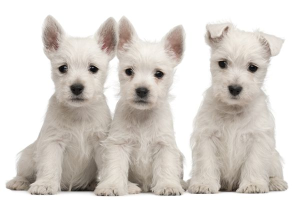 3 Westie Pups