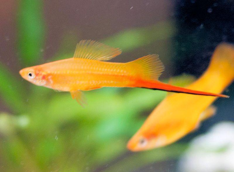 Male Orange Swordtail