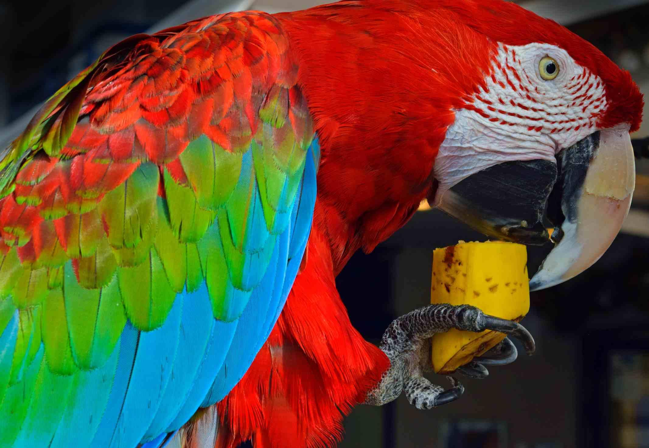 Macaw eating banana