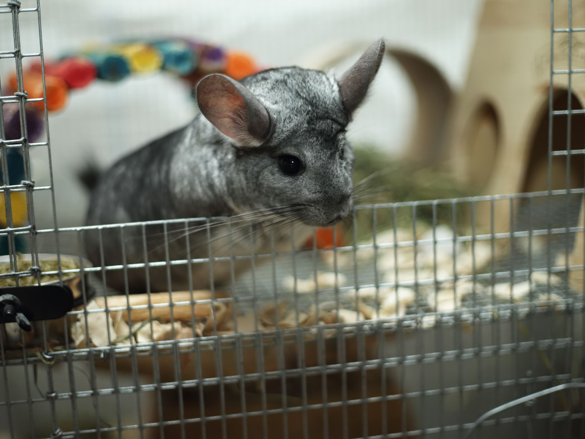 Bedding Options for Pet Chinchillas
