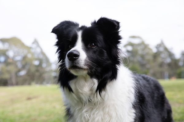 Black and white collie dog outside