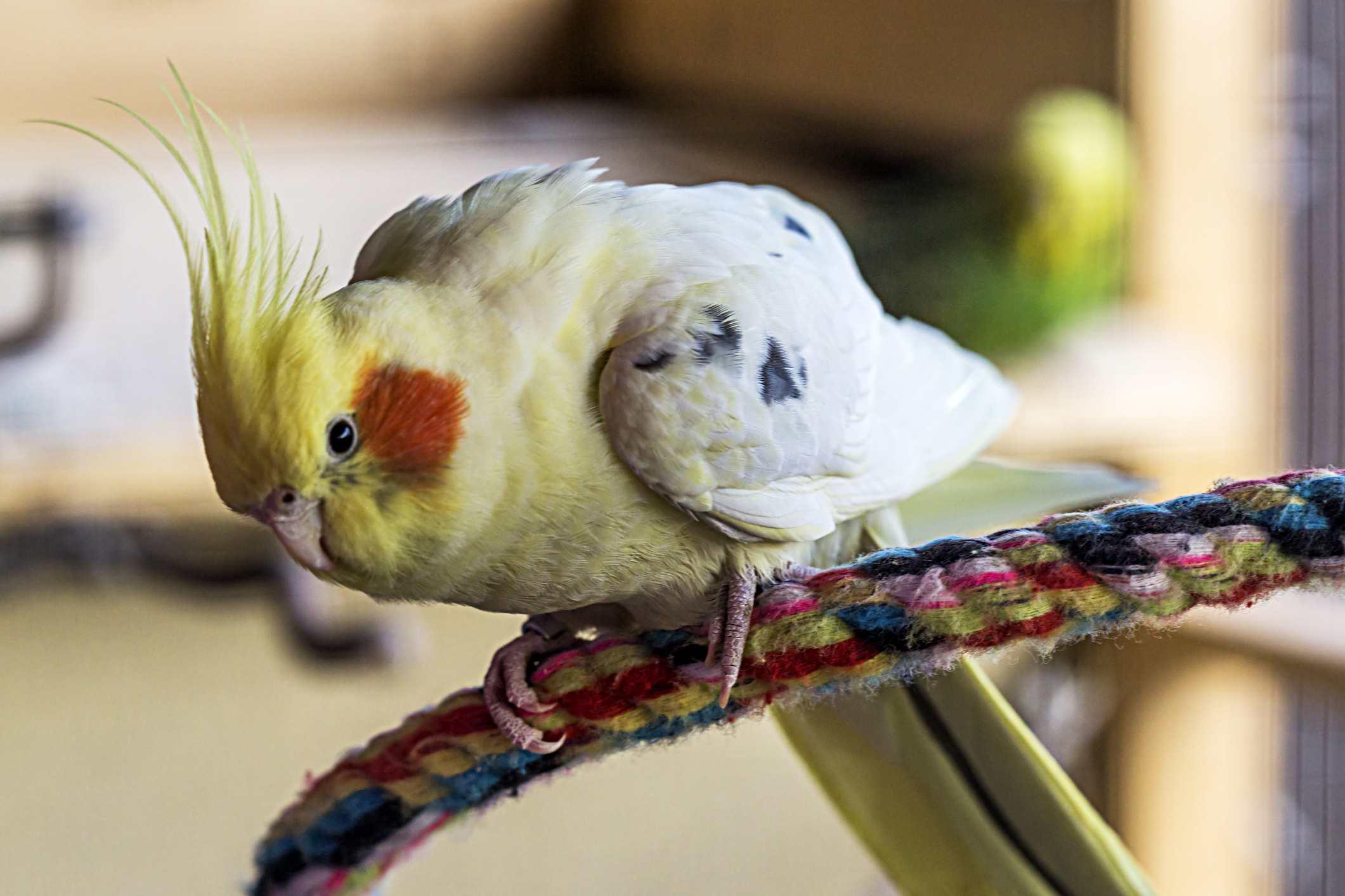 Cockatiel en una cuerda