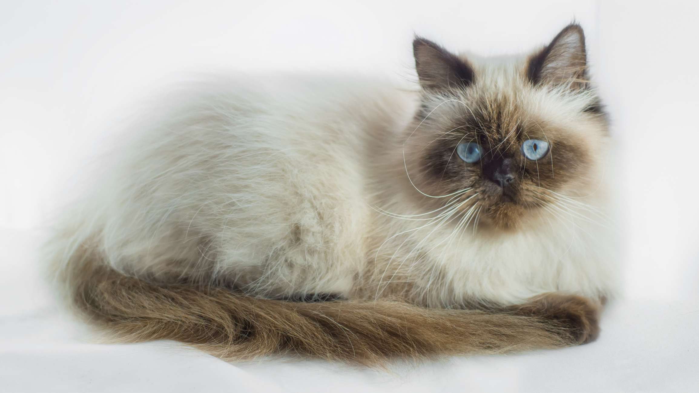 Himalayan cat on white background