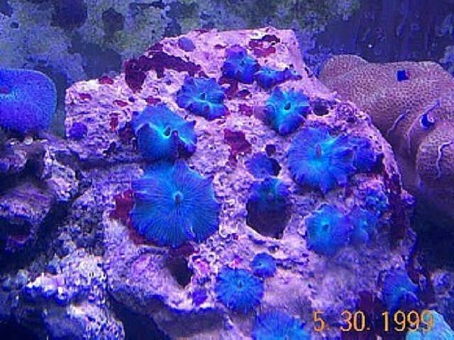 Blue Mushroom Corals