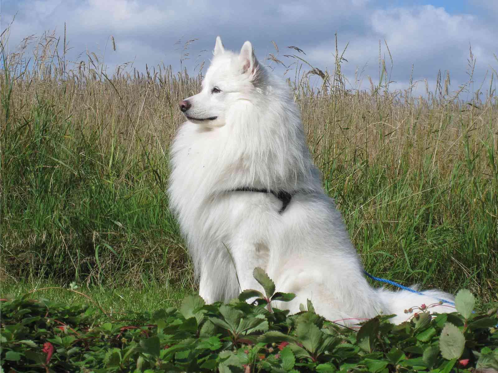Danish spitz dog portrait