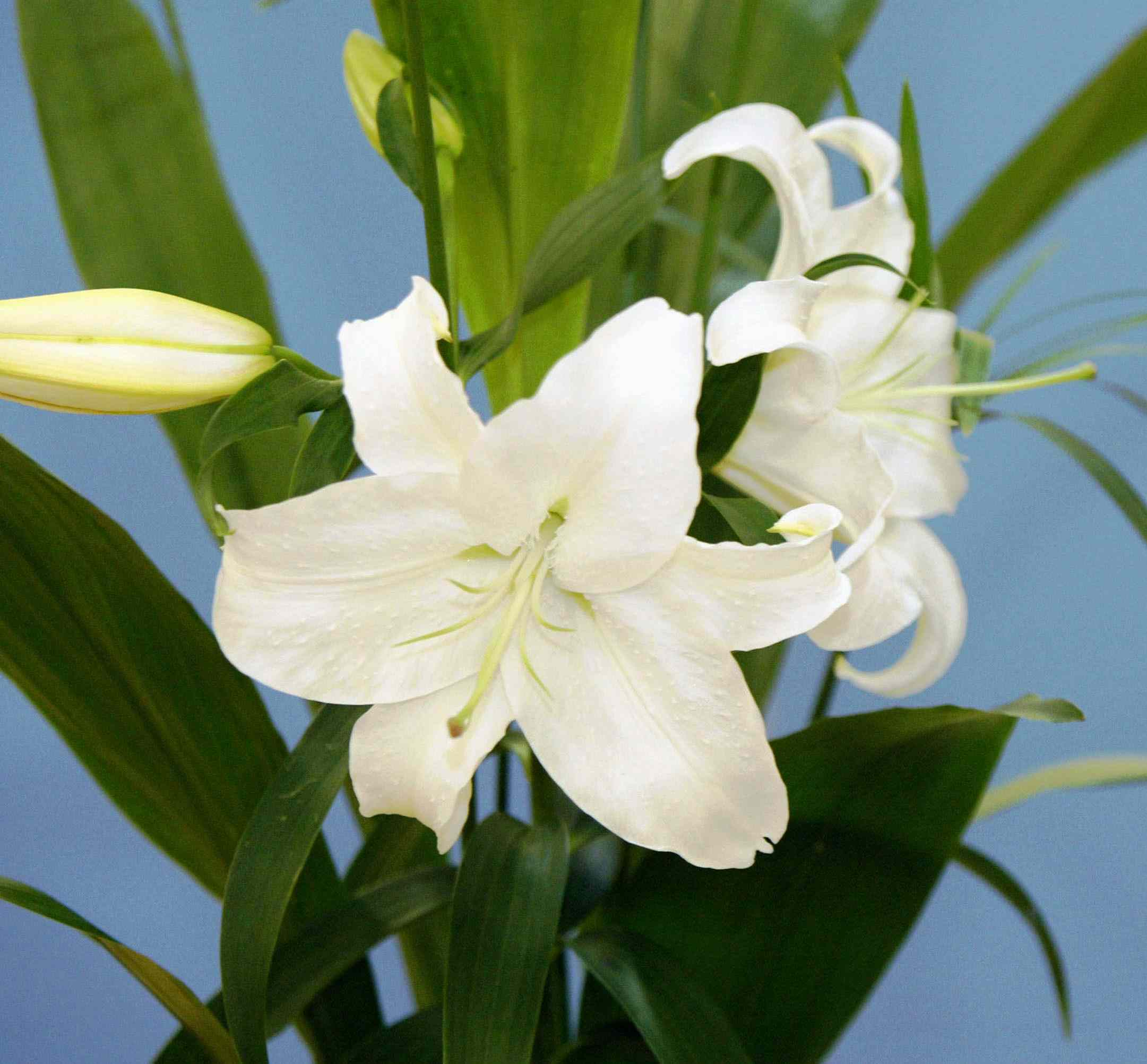 Substances that can be poisonous to dogs dog toxins and poisons photo of lilies poisonous to dogs izmirmasajfo