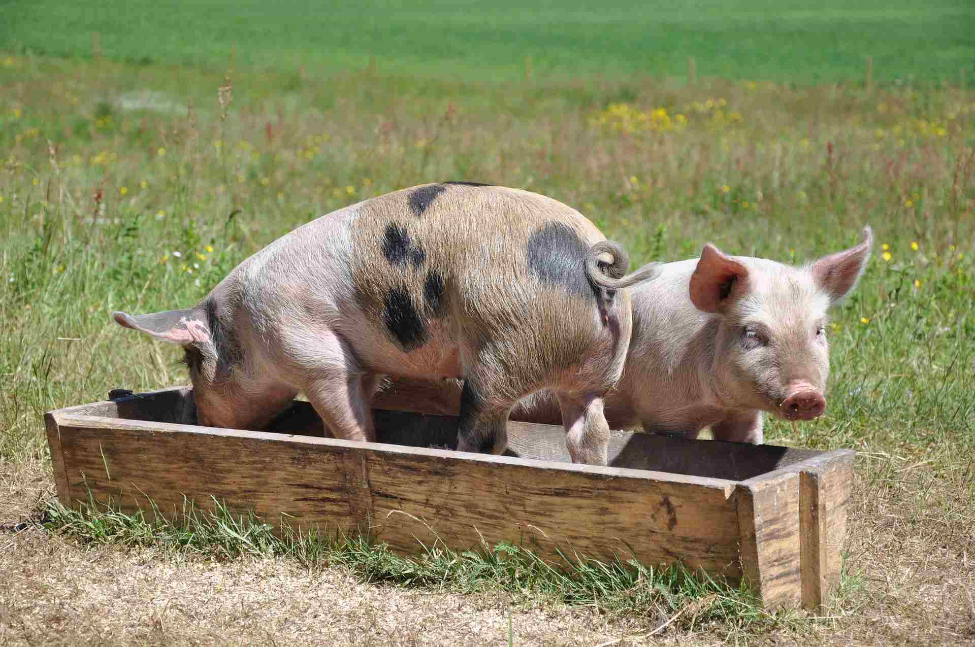 Piglets eating from a trough.