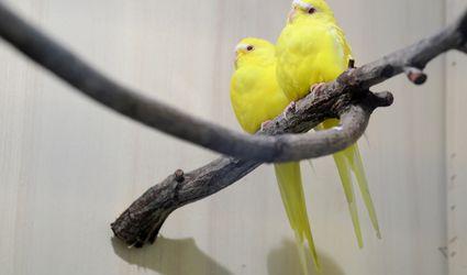 Lutino parakeets