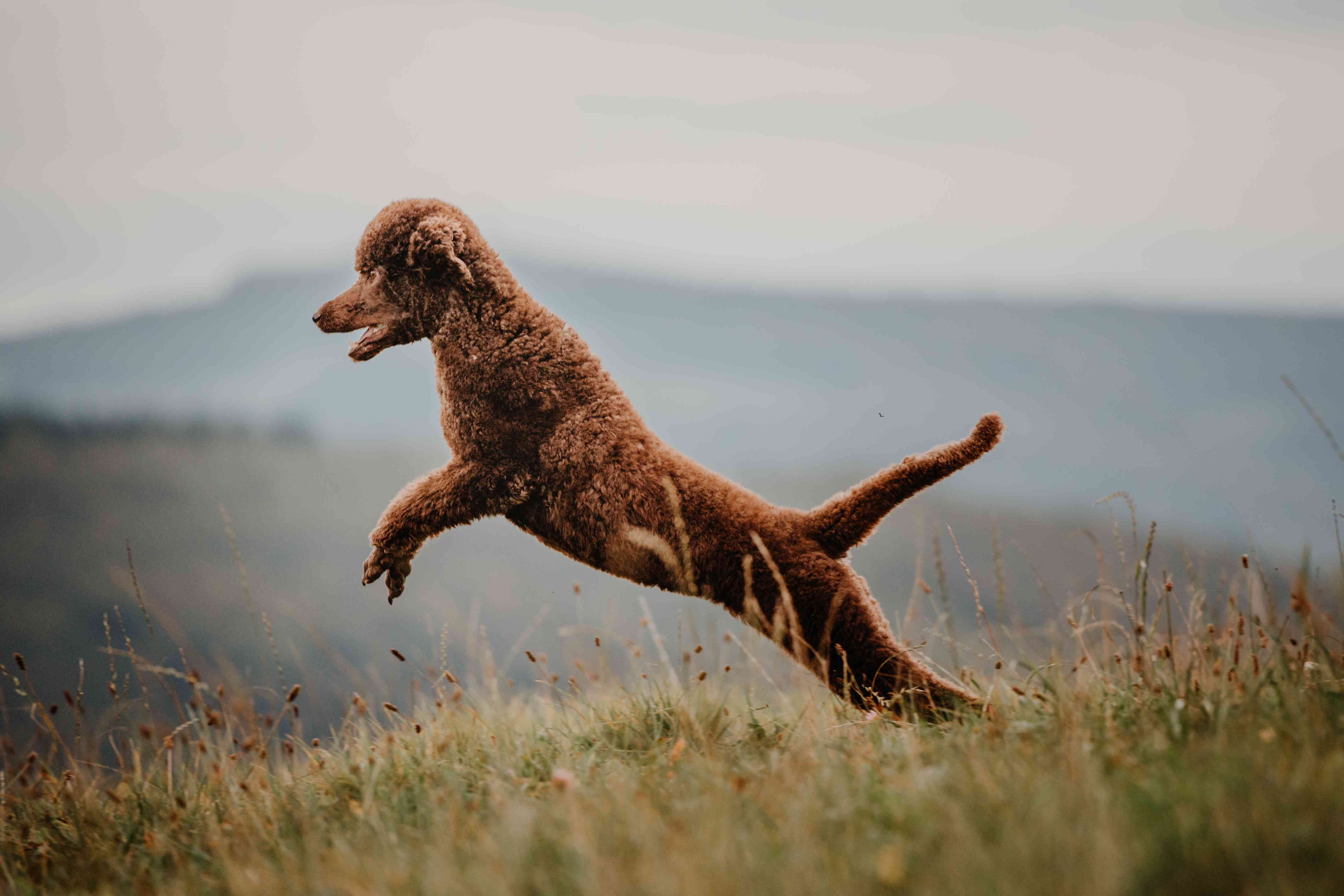 A brown Poodle jumping in the grass.
