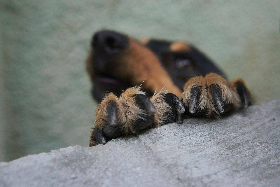 Close-Up Of Dog Paw On Retaining Wall