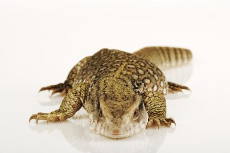 A Guide to Caring for Savannah Monitors As Pets