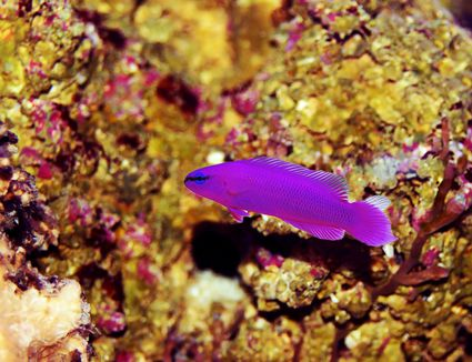 Orchid Dottyback on reef