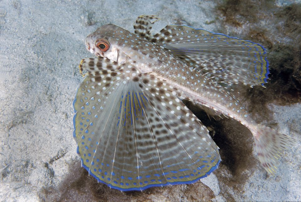 Flying Gurnard fish