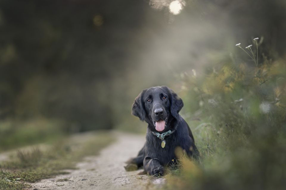 Flat-Coated Retriever lying down on path.