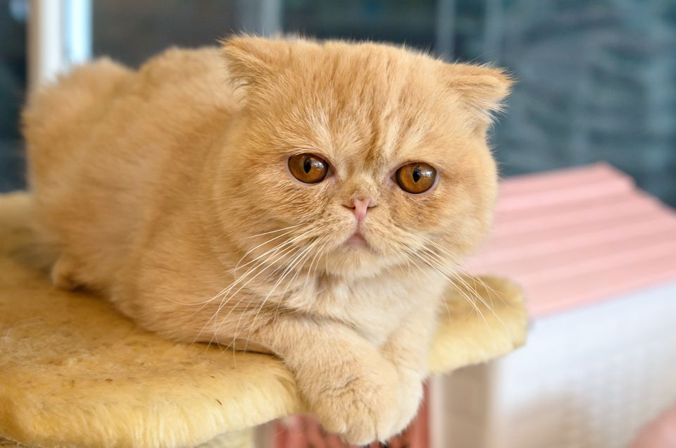 An exotic shorthair cat sitting on a cat tree.