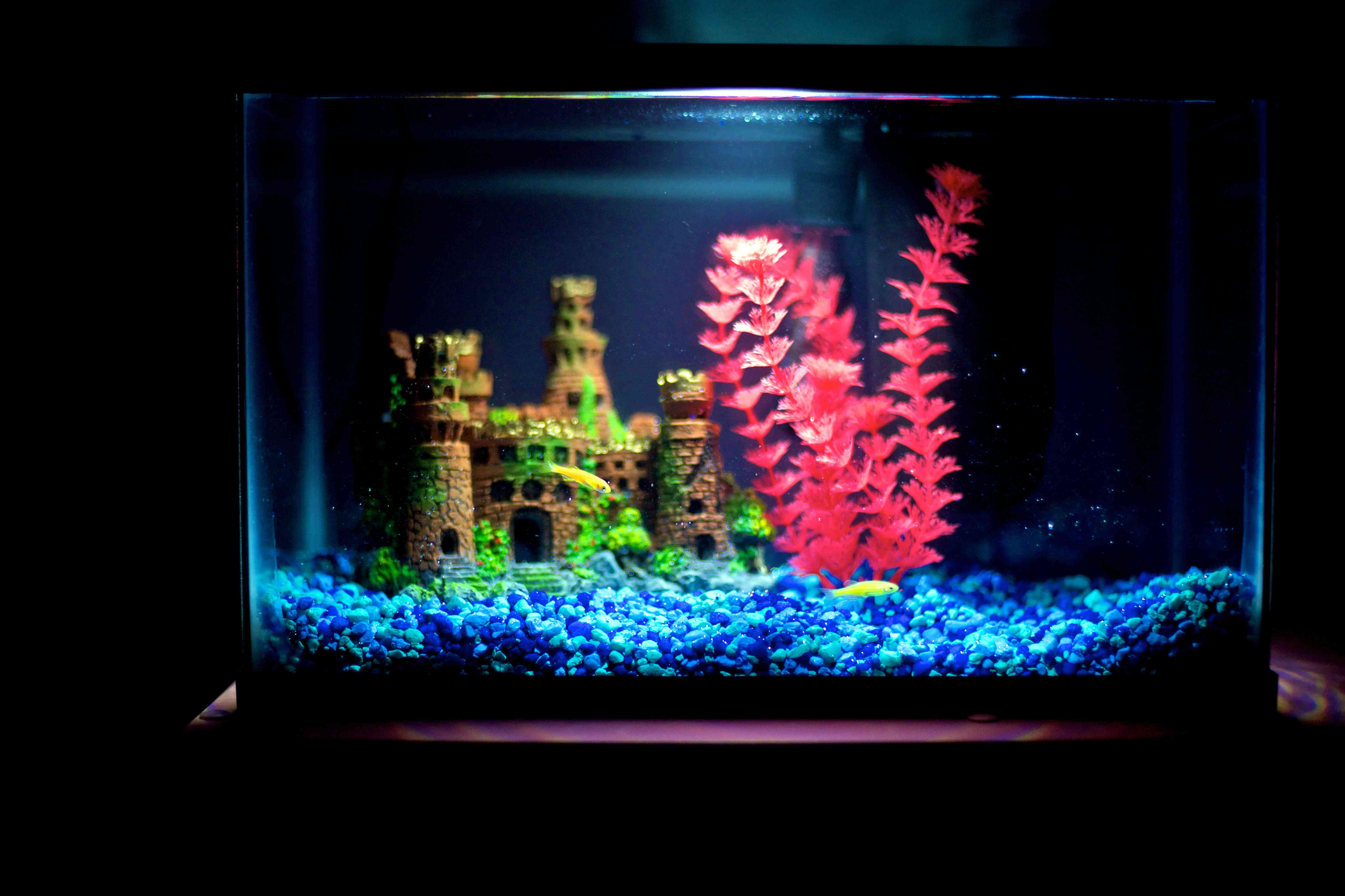 Two yellow danios swimming in a brightly decorated aquarium lit by a fluorescent bulb