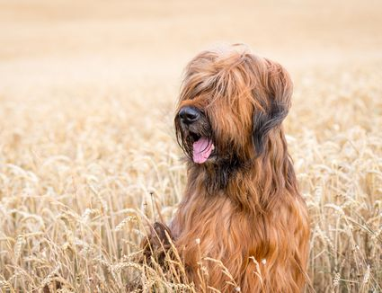 Brown and black Briard dog in field of wheat.