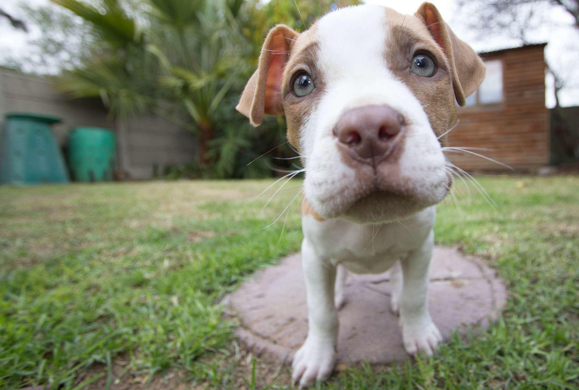 A wide angle photo of a pitbull puppy.