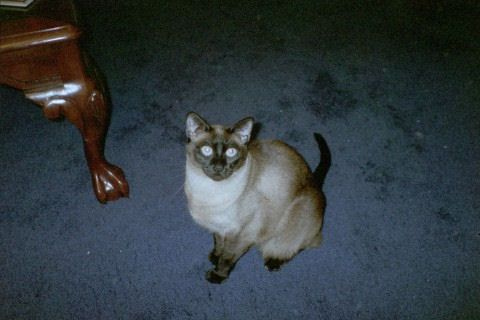 Picture of Siamese cat: Sophie