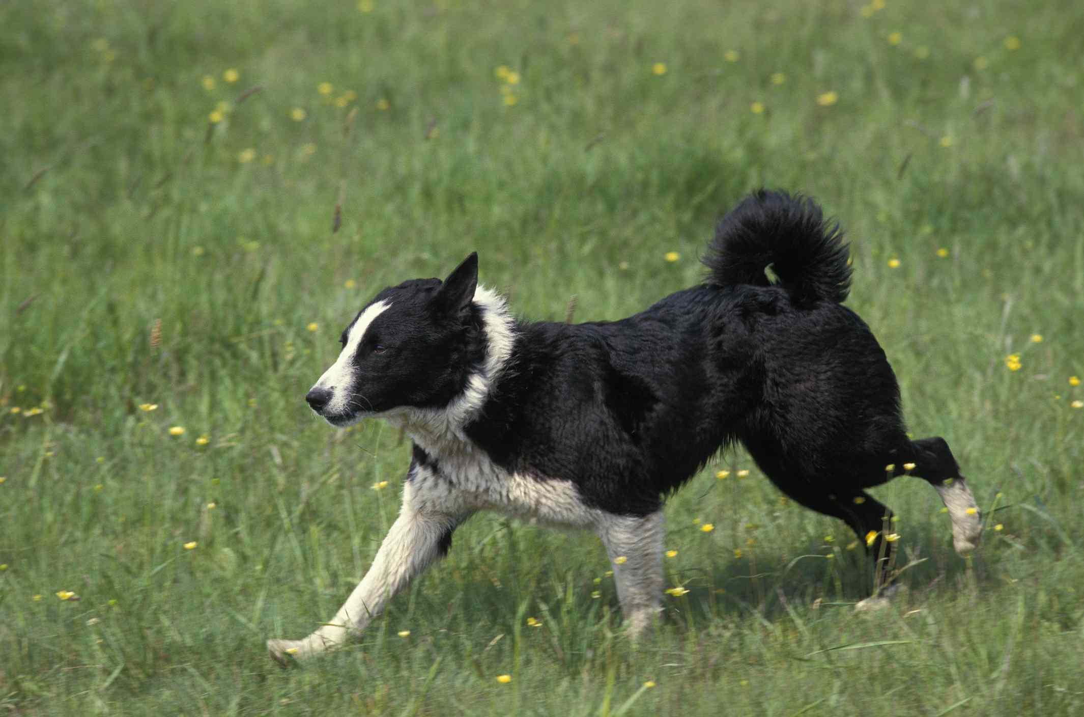 Karelian bear dog running in grass
