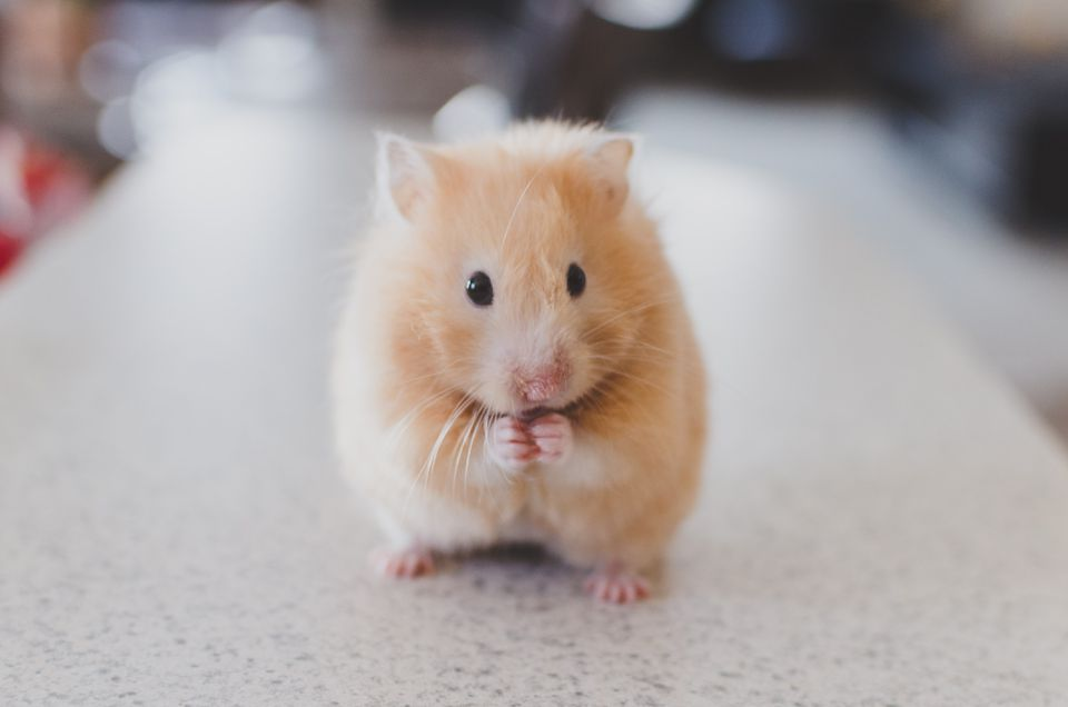 hamster as a pet