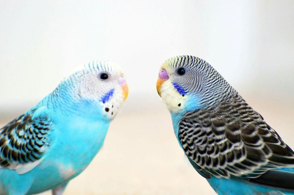 Budgerigars Against White Background